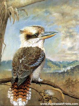 Faulk Kautzner, Kookaburra