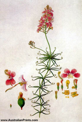 Ferdinand Bauer, Climbing Triggerplant (Stylidium scandens)