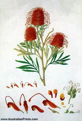 Ferdinand Bauer, Red Silky Oak (Grevillea banksii)