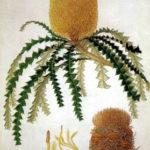 Ferdinand Bauer, Showy Banksia (Banksia speciosa)