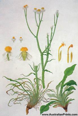 Ferdinand Bauer, Winged Everlasting (Ammobium alatum)